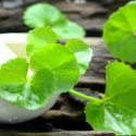 Benefits Of Brahmi Oil
